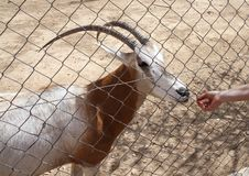 Feeding an antelope at the zoo Stock Images