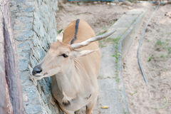 Feeding an antelope at the zoo Royalty Free Stock Images