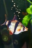 Feeding aquarium fish - barbus puntius tetrazona Stock Photography