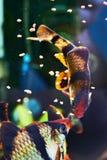 Feeding aquarium fishes - barbus puntius tetrazona Stock Photos