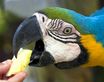 Feeding ara parrot Royalty Free Stock Images