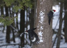 Pileated Woodpecker - Dryocopus pileatus - in flight. Feeding and attracting birds in winter is a favourite activity of North Americans. An estimated 40 percent Royalty Free Stock Image