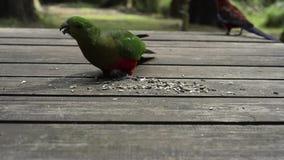 Feeding of australian parrots stock footage