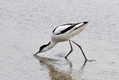 Feeding Avocet (Recurvirostra avosetta) Royalty Free Stock Photography