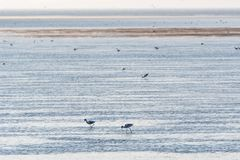 Feeding Avocets in a wetland royalty free stock images