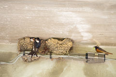 Feeding the babies. Swallow and male Redstart who has adopted th Stock Images