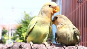 Feeding baby birds on branch stock video