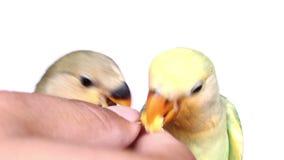 Feeding baby birds on isolated stock video