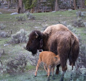 Feeding Baby Bison. Baby bison calf nursing. Cow buffalo has a collar. They are in a prairie with sagebrush. Photographed in Yellowstone National Park with Royalty Free Stock Image