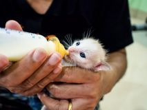 Feeding Baby Cats The milk in the bottle. Feeding Baby Cats The milk in the bottle is similar to the infant who drinks milk from the bottle Royalty Free Stock Images