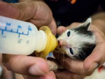 Feeding Baby Cats The milk in the bottle. Feeding Baby Cats The milk in the bottle is similar to the infant who drinks milk from the bottle Stock Photography