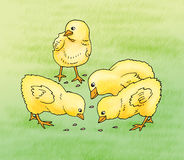 Feeding of baby chicks. Baby chicks illustrated during feeding Royalty Free Stock Image