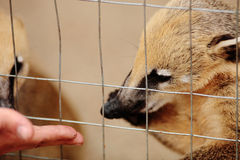 Feeding baby coati Royalty Free Stock Photos