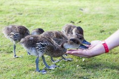 Feeding baby duck Royalty Free Stock Photography