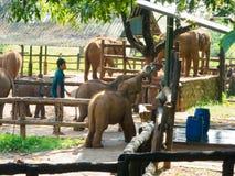 Feeding Baby Elephants Stock Photo