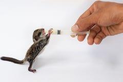 Feeding baby flying Lemur. With milk replacer by syringe Stock Photo