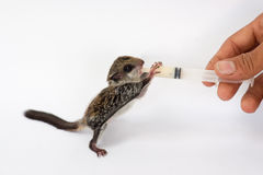 Feeding baby flying Lemur. With milk replacer by syringe Royalty Free Stock Images