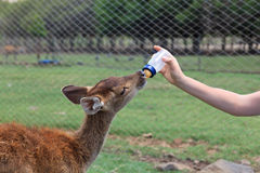 Feeding baby goat Royalty Free Stock Photos