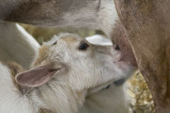 Feeding Baby Goat Stock Photos
