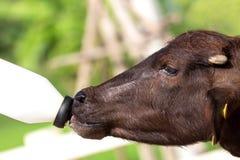 Feeding a baby of murrah buffalo (water buffalo) from bottle. Royalty Free Stock Photos