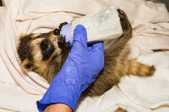 Feeding A Baby Raccoon stock images