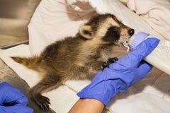 Feeding A Baby Raccoon. An orphaned baby raccoon being fed at a animal rehabilitation center stock photography