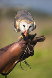 Feeding barn owl Stock Photo