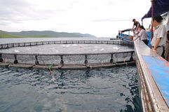 Feeding Barramundi Fish By Machine In Cage Culture In The Van Phong Bay In Vietnam Stock Photography