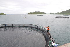 Feeding barramundi fish by machine in cage culture in the Van Phong bay in Vietnam Stock Photo