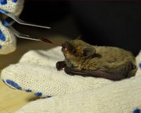 Feeding the bat with bloodworms stock photo