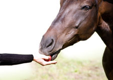 Feeding the bay horse Royalty Free Stock Photos