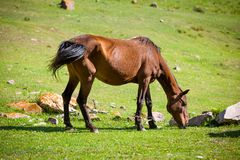 Feeding bay horse Stock Image
