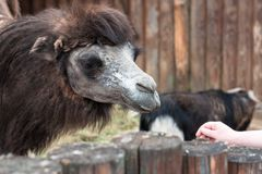 Feeding of beautiful camels in the contact zoo royalty free stock image
