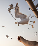 Feeding beautiful white seagulls Stock Images