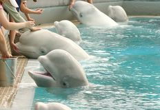 Feeding Belugas. At the zoo Royalty Free Stock Images