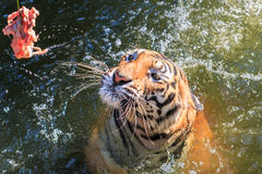 Feeding the Bengal tiger (Panthera tigris tigris) in the zoo Royalty Free Stock Photography