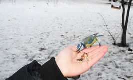 Feeding the bird blue tit from hand. Stock Photos