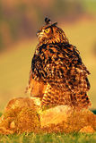 Feeding bird with food. Eurasian Eagle Owl, bird sitting on the stone in the meadow with catch hedgehog. Beautiful rare owl in the Stock Photos
