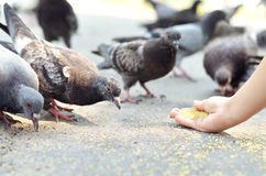 Feeding birds Royalty Free Stock Image