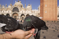 Feeding the Birds. Close up photo of pigeons feeding out of a tourist's hand in San Marco Square, Venice, Italy- St. Mark's Basilica in the background Royalty Free Stock Image