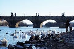 Feeding birds in the Czech Republic in Prague on the Vltava river. Stock Photo