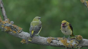 Feeding Birds Golden oriole with chicks on the branch in the forest stock video footage
