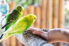 Feeding Birds By Hand. The beautiful and colorful birds that can be fed by a hand Royalty Free Stock Photo