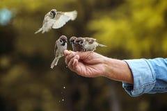 Feeding birds. A man feeding birds Royalty Free Stock Photo
