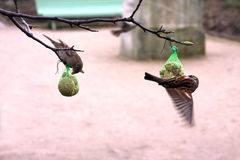 Feeding birds Royalty Free Stock Images