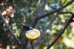 Feeding birds. A red footed honeycreeper eats an orange while another bird waits its turn royalty free stock photo