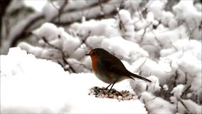Feeding birds in snow. Wild Birds robin and great tit pecking birdseed in snow stock footage