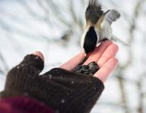 Feeding of birds. In the winter Royalty Free Stock Photos