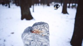 Feeding birds. Winter Sparrow flies and sits on the hand. White snow and drifts in the coniferous forest. Northern. Creatures stock video footage
