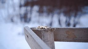 Feeding birds. Winter Sparrow flies to the trough. White snow and drifts in the coniferous forest. Northern creatures. Feeding birds. Winter Sparrow flies to stock video